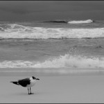 Blackberry Bird on Beach B & W